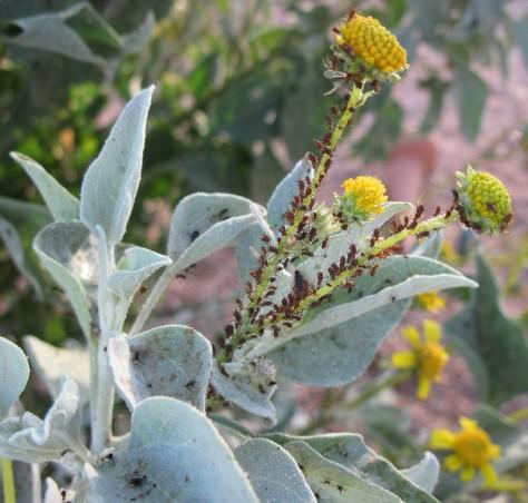 aphids, brittlebush